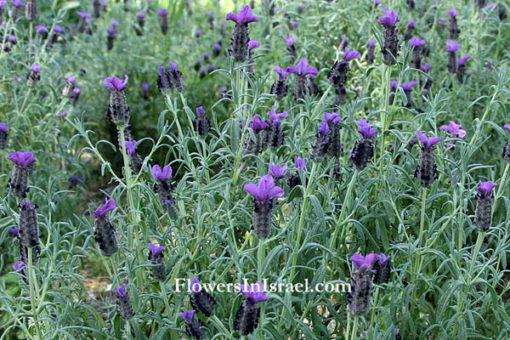 Israeli Spanish Lavender
