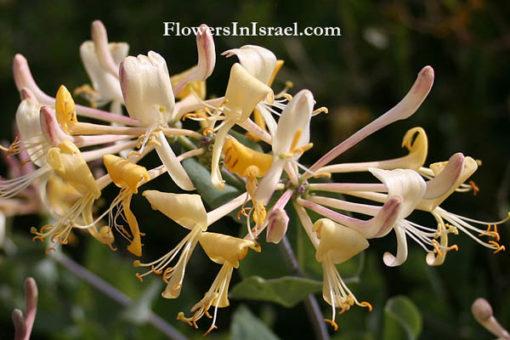 Lonicera_etrusca_flower2