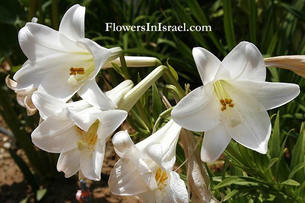 Lilium_candidum_flower2