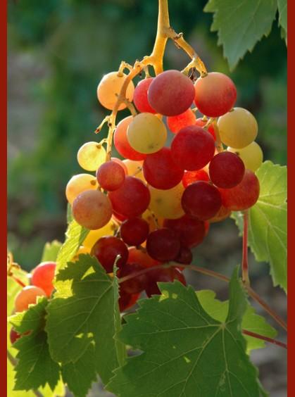 Grapes judean hills
