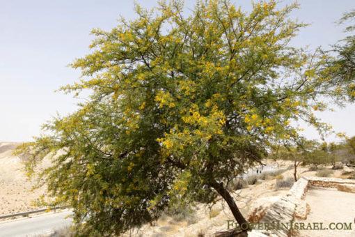 Acacia_farnesiana_flower