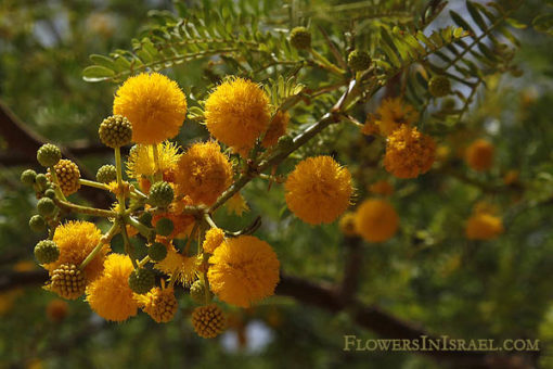 Acacia_farnesiana_flower4